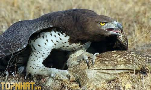 Đại bàng rừng Châu Phi