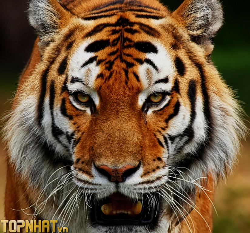 Hổ xếp hạng thứ 9 trong các loài khỏe nhất