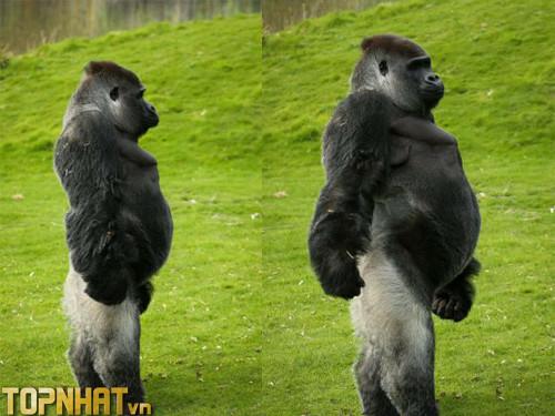 Khỉ đột là loài mạnh thứ 6 trong bảng xếp hạng