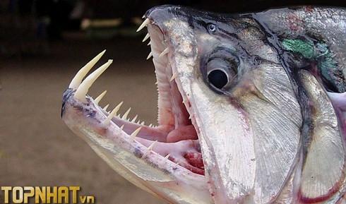 """Cá Payara - """"Ma cà rồng"""" trên sông Amazon"""