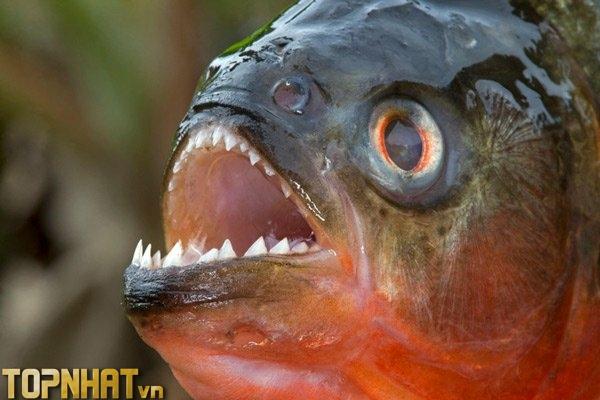 Cá Piranha - Loài cá bầy đàn hung hăng trên sông Amazon
