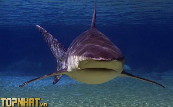 Cá mập bò - Loài cá mập nguy hiểm nhất thế giới