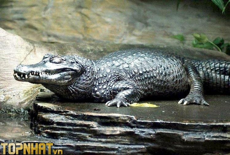 Cá sấu đen Caiman - Sát thủ Amazon khiến trăn Anaconda phải kiêng dè