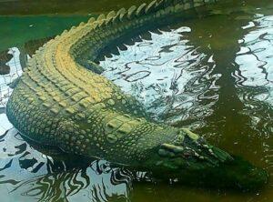 Lolong - Con cá sấu to nhất thế giới