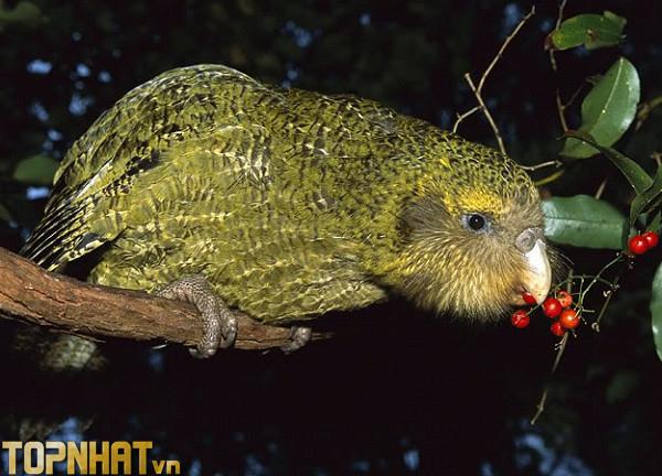 """Vẹt Kakapo - Loài vẹt """"lù đù"""" ngốc nghếch"""