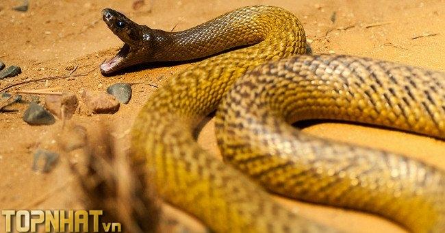 Rắn Taipan nội địa - Loài rắn độc nhất trên cạn