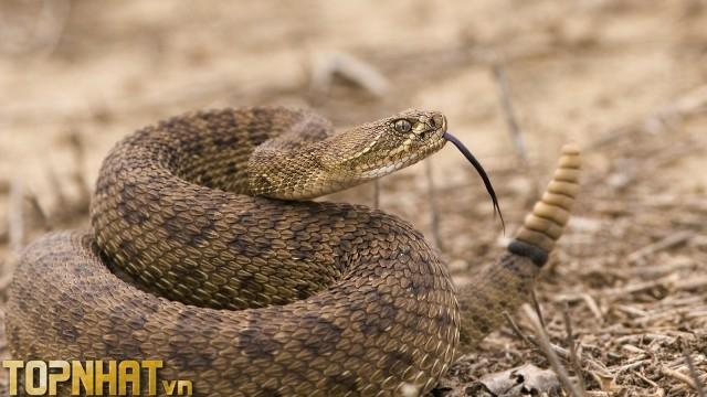 Rắn đuôi chuông - Loài rắn có khả năng phóng độc 3 mét