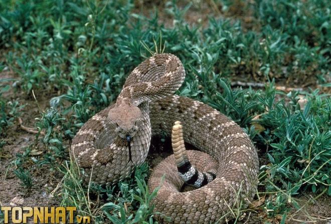 Rắn đuôi chuông - Loài rắn có khả năng phóng độc